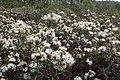 Rhododendron tomentosum kz15.jpg
