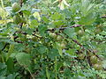 Ribes uva-crispa 01.JPG