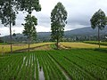 Rice Plants in Line.jpg
