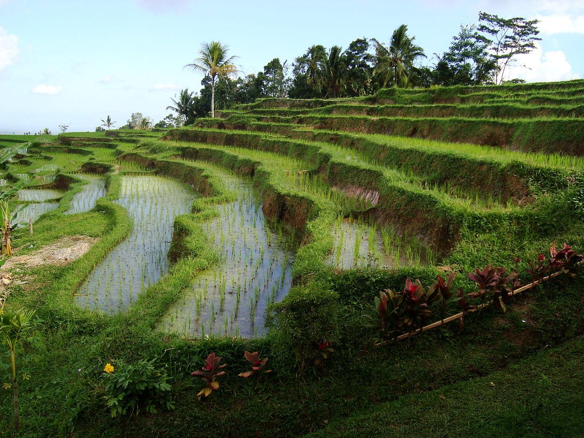 https://upload.wikimedia.org/wikipedia/commons/thumb/3/36/Rice_terraces_in_Jatiluwih%2C_Tabanan_Regency%2C_Bali%2C_Indonesia.jpg/1200px-Rice_terraces_in_Jatiluwih%2C_Tabanan_Regency%2C_Bali%2C_Indonesia.jpg