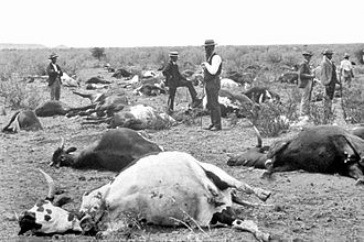 Tsetse fly - Cows dead from rinderpest in South Africa, 1896