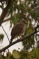 Roadside Hawk (Buteo magnirostris) - Santa Isabel, Copan.jpg