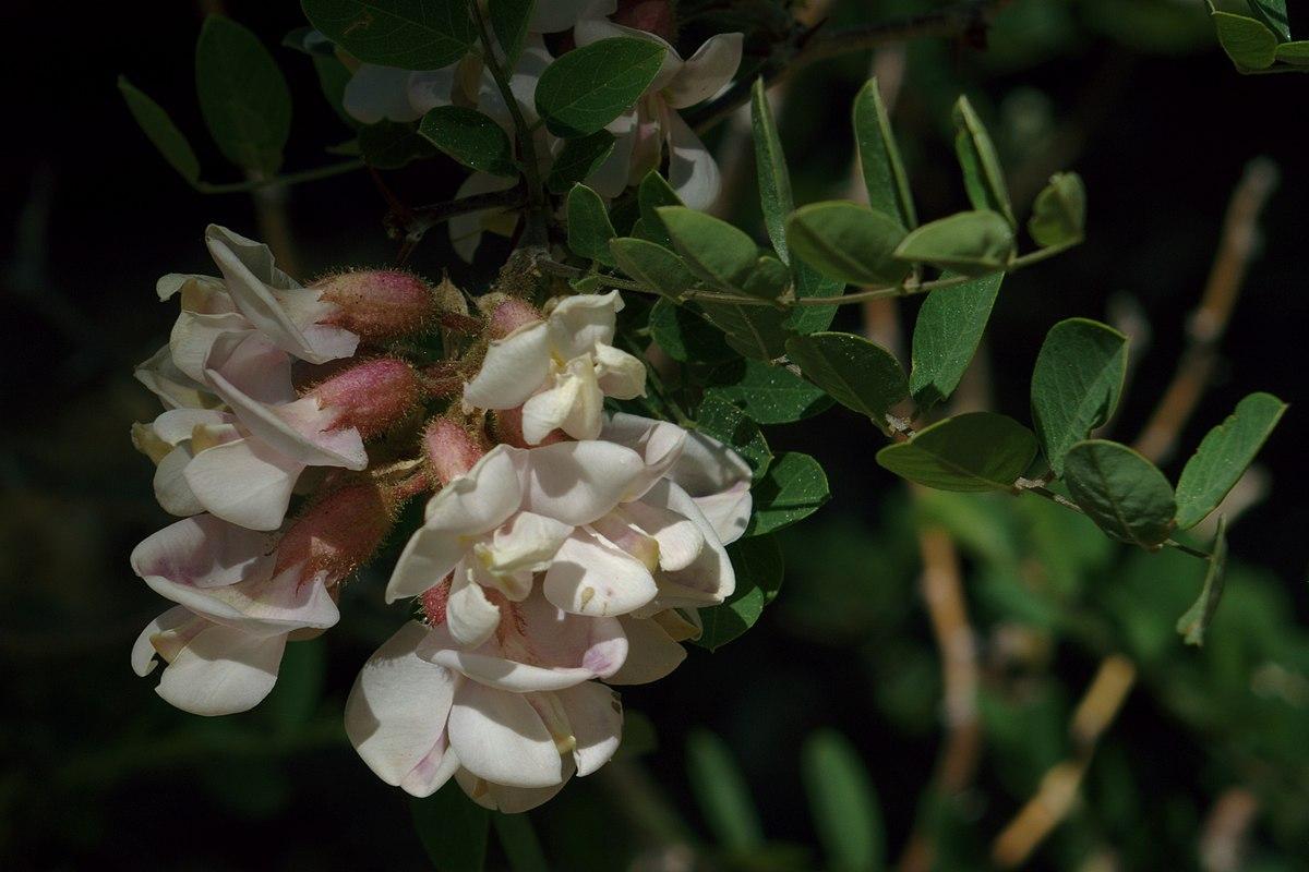Robinia neomexicana - ...