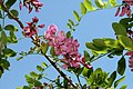 Robinia pseudoacacia Purple Robe 2zz.jpg