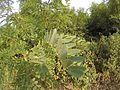 Robinia pseudoacacia leafs in heat.jpg