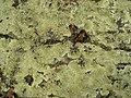 Rock Greenshield Lichen (4501580711).jpg