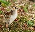 Rock sandpiper chick on St. George by Kevin Pietrzak USFWS.jpg