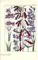 Rocky mountain flowers (Plate 23) (6280207766).jpg