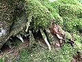 Roots and moss (27554261615).jpg