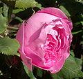 Rosa 'Mme Pierre Oger'.jpg