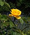 Rosa 'Rugelda'. Locatie, Tuinen Mien Ruys 02.jpg
