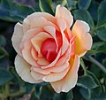 Rosa Anne Harkness.jpg