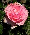 Rosa Badener Traberchampion Baden.jpg