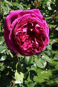 Rosa Othello Wien 2014.jpg