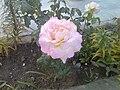 Rosa cerca.jpg