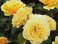Rosa sp.30.jpg