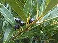 Rosales - Prunus laurocerasus - 1.jpg