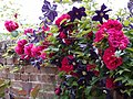 Rose,Tess of the d'Urbervilles,バラ,テス オブ ザ ダーバーヴィルズ, (8122175915).jpg