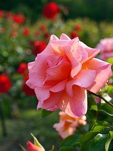 Rose, Zambra '93, バラ, ザンブラ '93, (15136921533).jpg