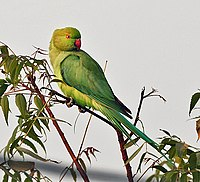 Rose-ringed Parakeet (Psittacula krameri)- Female on a Neem (Azadirachta indica) tree at Hodal Iws IMG 1279.jpg