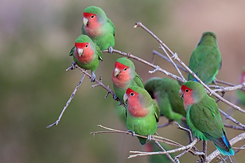 agapornis un ave popular para tener en casa