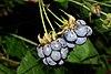 Rubus caesius 01 by-dpc.jpg