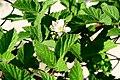 Rubus idaeus ENBLA05.jpg