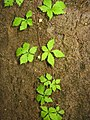 Rubus ikenoensis 2.JPG
