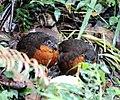 Rufous-fronted wood-quail (46964550535).jpg