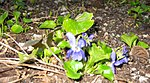 Ruhland, Grenzstr. 3, Duftveilchen im Garten, blau blühend, Frühling, 04.jpg