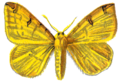 Rumia Luteolata.PNG