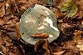 Russula.cyanoxantha3.-.lindsey.jpg