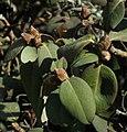 SDC11224 - Rhododendron adenophorum.JPG