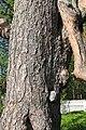 Sacrificial pine Markkina 4.jpg