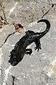 Salamandra atra Bizau 01.jpg