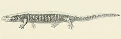 Salamandrella keyserlingii2.PNG