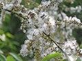 Salix tetrasperma - Indian Willow at Bavali (4).jpg