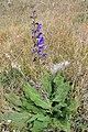 Salvia pratensis. Salvia.jpg