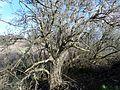 Sambucus nigra (Elder) with extreme shoot growth, Irvine, Scotland.jpg