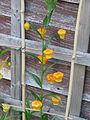 Sandersonia aurantiaca (19608386982).jpg