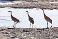 Sandhill Cranes (Grus canadensis) along the Yellowstone River (d17133ca-8657-4900-a34c-d784e851f3a6).jpg