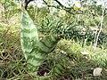 Sansevieria sp. Muidumbe 1 (7709055678).jpg