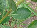 Sapium glandulosum (16057559553).jpg
