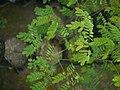 Sapling Adenanthera pavonina P1140194 03.jpg