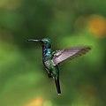 Sapphire-throated hummingbird (Lepidopyga coeruleogularis coeruleogularis) male in flight.jpg