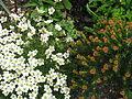 Saxifraga Foundling and Ozothamnus ledifolius.jpg