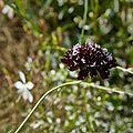 Scabiosa atropurpurea-IMG 9136.jpg