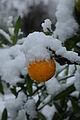Schnee Orange, Citrus × aurantium 4.JPG