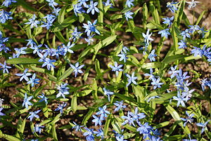 Scilla siberica from above.jpg