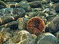 Sea Urchin Coronado Island.jpg